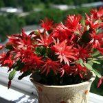 9999 Квітка декабрист: правила догляду в домашніх умовах