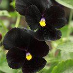10010 Квіти братки: сорти, особливості вирощування та догляду