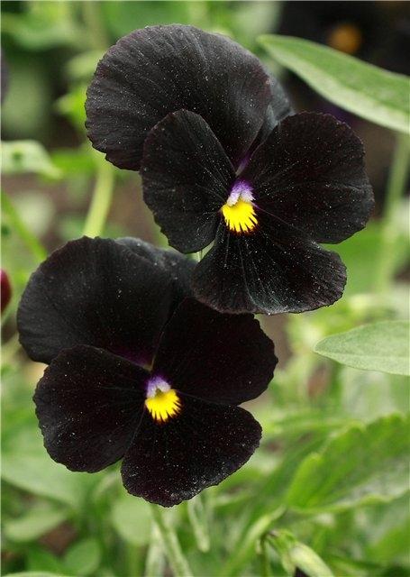 Квіти братки: сорти, особливості вирощування та догляду