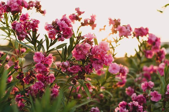 Використання чагарникових рослин в плануванні саду