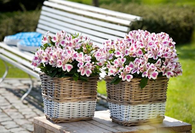 Альстромерія: опис, посадка і догляд за квіткою