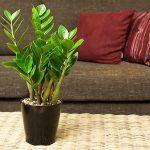 10038 Вирощування і догляд за доларовими деревом в домашніх умовах