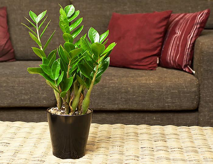 Вирощування і догляд за доларовими деревом в домашніх умовах
