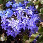10052 Ранні багаторічні цибулинні квіти – прикраса саду