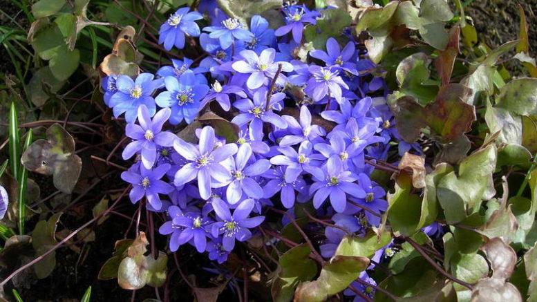 Ранні багаторічні цибулинні квіти – прикраса саду