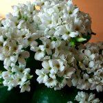 10064 Особливості догляду за квіткою каланхое в домашніх умовах
