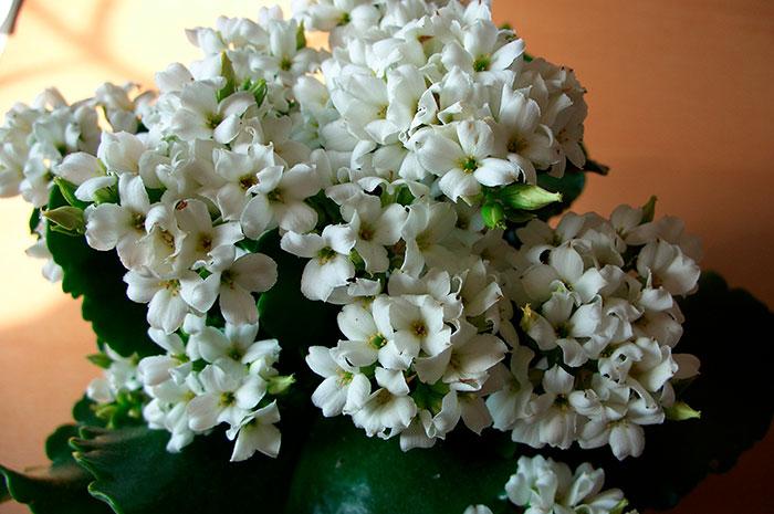 Особливості догляду за квіткою каланхое в домашніх умовах