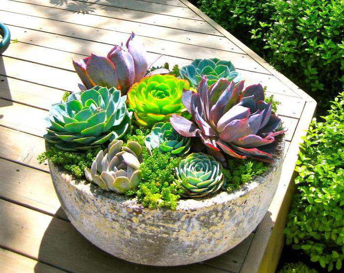 Сукуленти: види кімнатних рослин і догляд за ними
