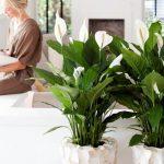 10096 Догляд за квіткою жіноче щастя в домашніх умовах