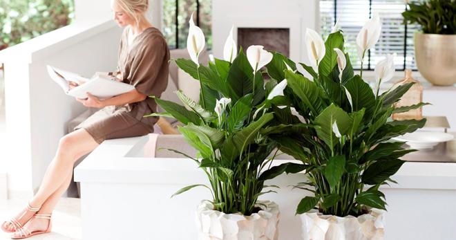 Догляд за квіткою жіноче щастя в домашніх умовах