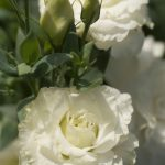 10144 Еустома: вирощування в саду і догляд в домашніх умовах