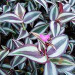 10152 Розмноження та догляд за кімнатною квіткою традесканція
