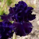 10174 Квітка Ірис – унікальна рослина