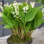 10185 Опис конвалії: види і характеристика квітки