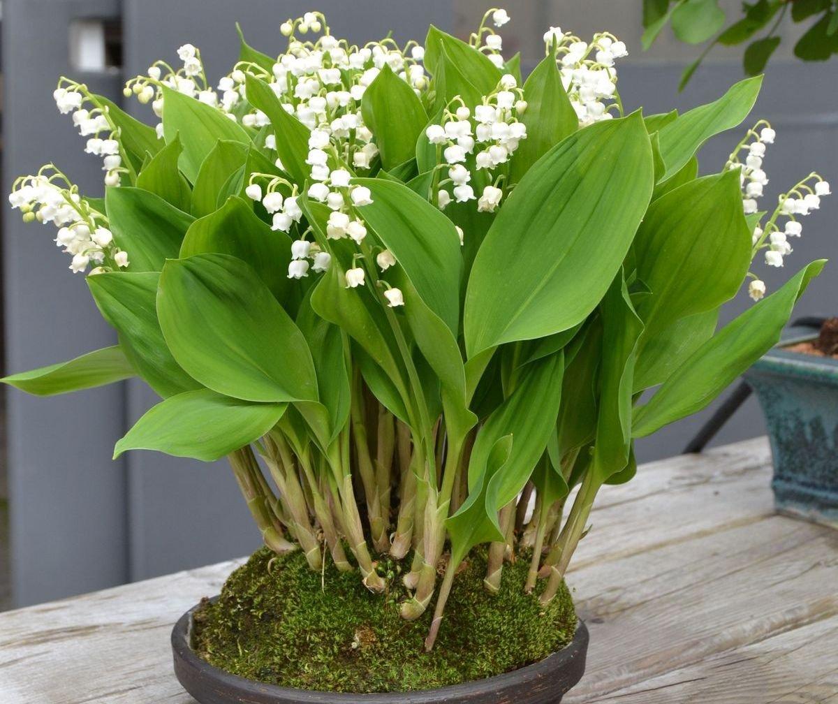 Опис конвалії: види і характеристика квітки