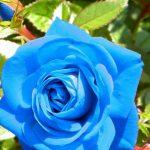 10222 Посадка троянд із закритою кореневою системою
