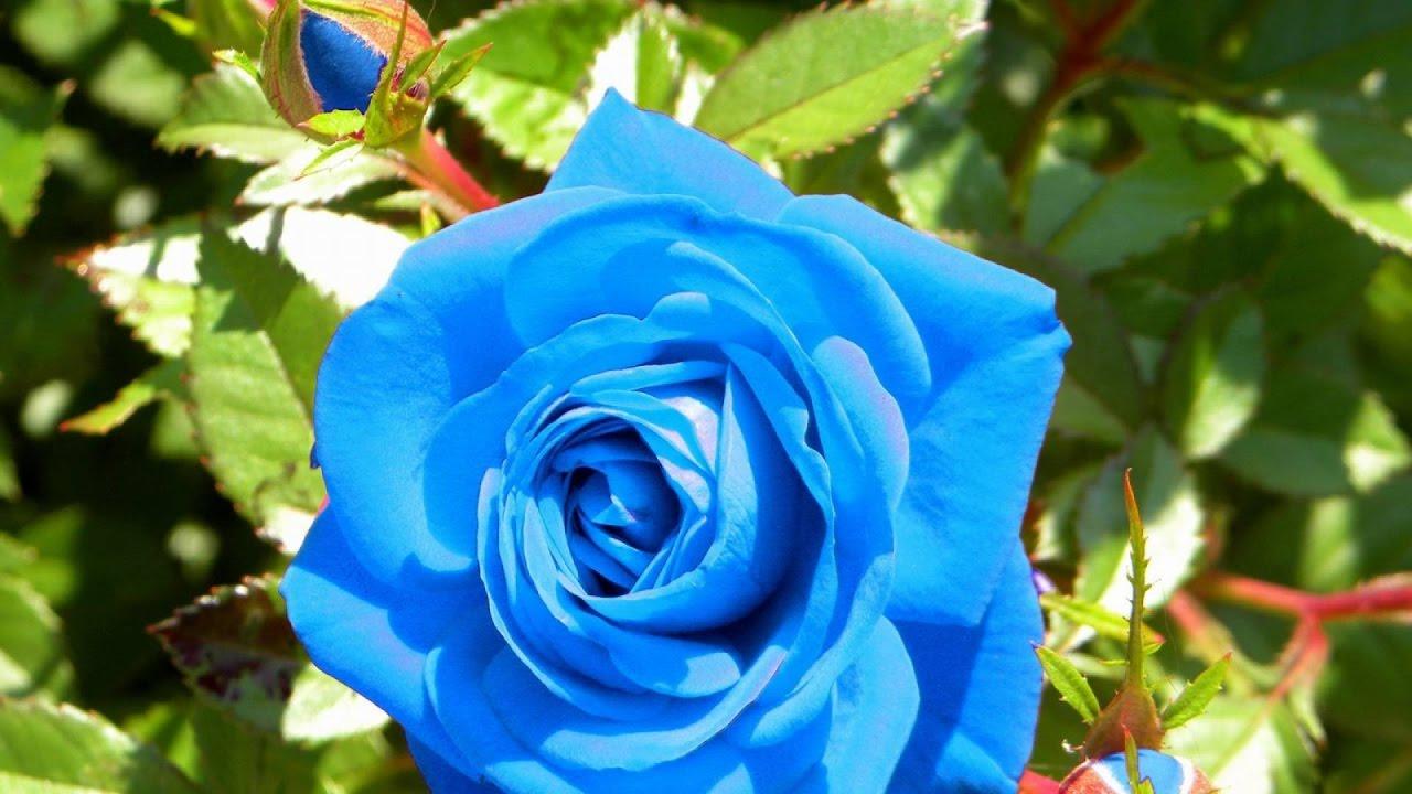 Посадка троянд із закритою кореневою системою
