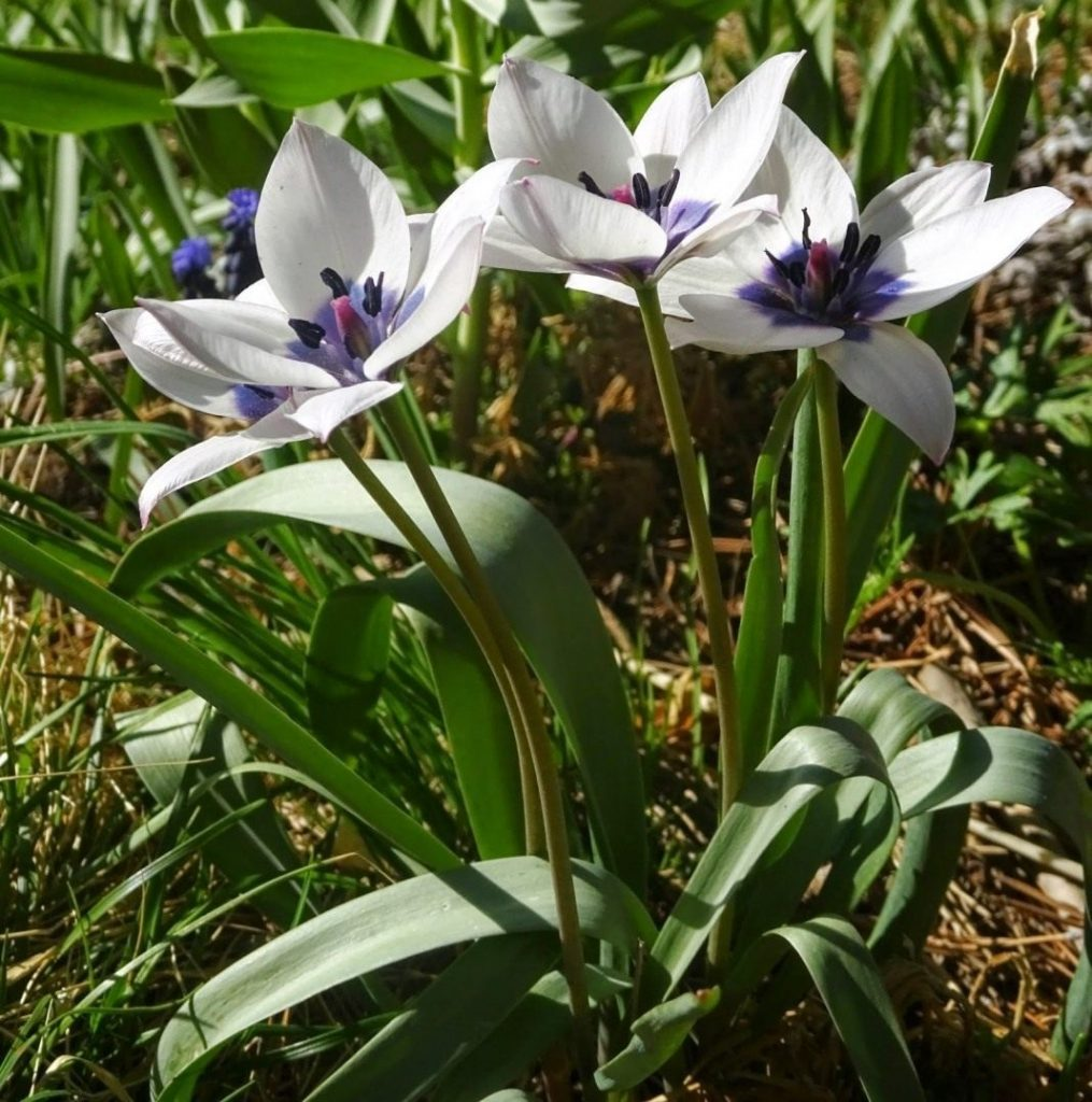 Тюльпан карликовий: догляд, вирощування, сорти