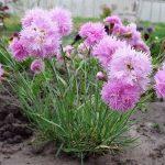 10294 Квіти гвоздики – сорти, посадка і догляд