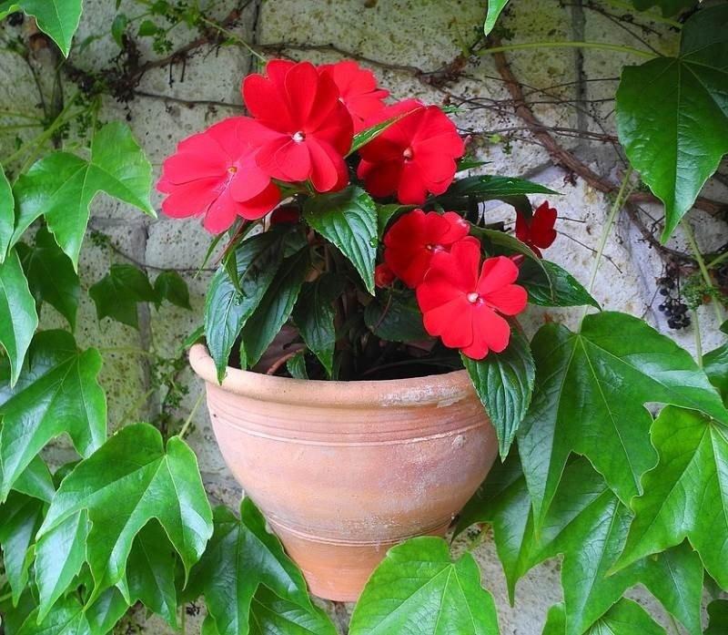 Вирощування садового бальзаміну з насіння