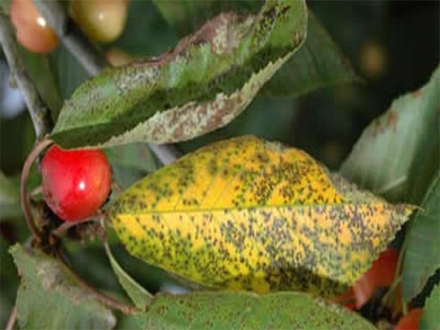 Коккомикоз вишни – как эффективно и быстро вылечить дерево