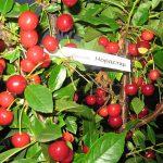 10439 Коккомикоз вишни – как эффективно и быстро вылечить дерево