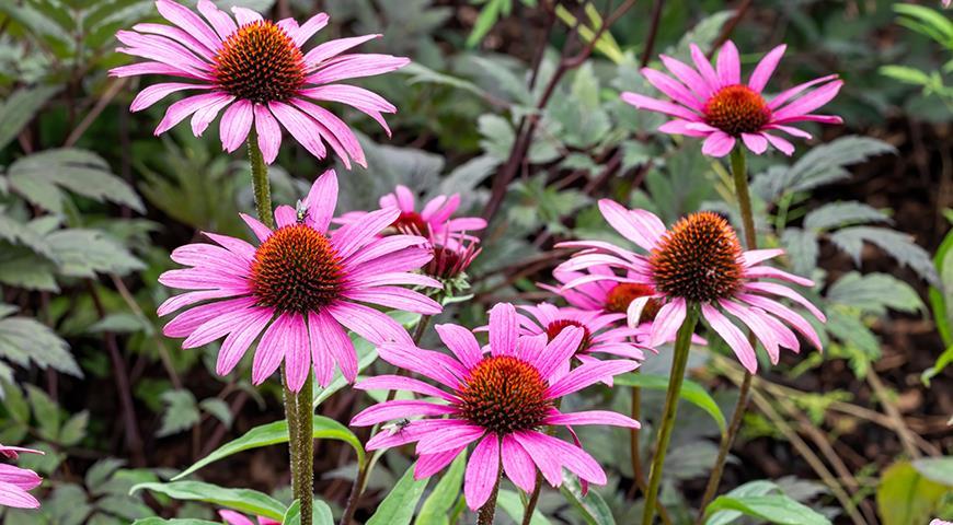 10489 Ехінацея - популярна рослина для вашого квітника: сорти з фото і всі секрети вирощування