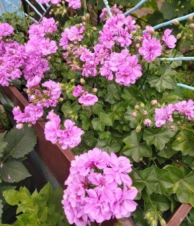 Пеларгонія в саду, що потрібно для розкішного цвітіння