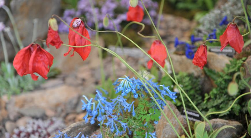 10746 Меконопсис в саду: головні секрети блакитного маку
