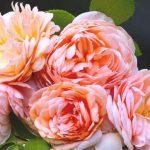 10505 Сорти троянд Девіда Остіна