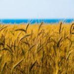 10514 Влияние гумата на вегетативное развитие с/х продукции