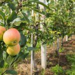 10721 Яблуневий сад: сучасні технології