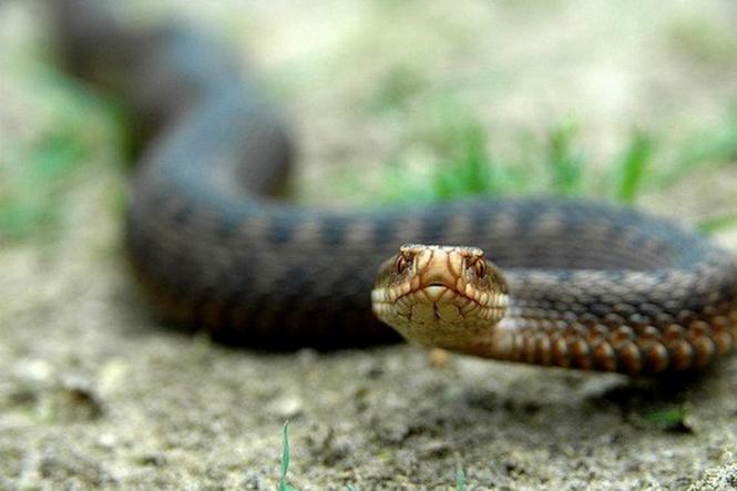 10516 Змія у дворі! Що робити (а не робити), коли бачиш змію