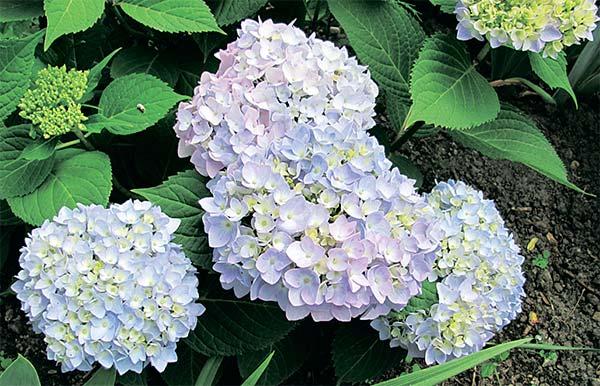 10772 Гортензия крупнолистная: как изменить окраску соцветий с розового на голубой?