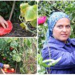 10767 Как ускорить созревание томатов