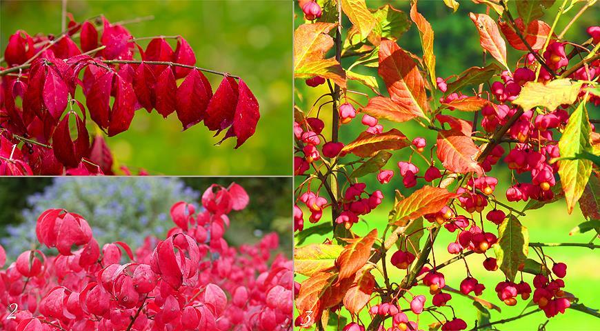 10841 Неприхотливые деревья и кустарники с красивой осенней листвой