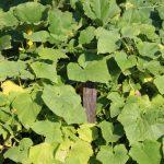 10838 Почему желтеют листья у огурцов и что с этим делать