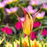 10784 Серпень - саме час вибирати, які сорти тюльпанів у вас будуть цвісти навесні