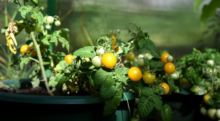 10820 ТОП-5 вечных овощей: их можно пересаживать с грядки в дом и обратно