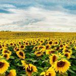 10762 Цветочный гороскоп на 03-12 августа: ваш цветок - подсолнух!