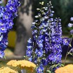 10814 Цветочный гороскоп на 24 августа - 2 сентября: ваш цветок - дельфиниум!