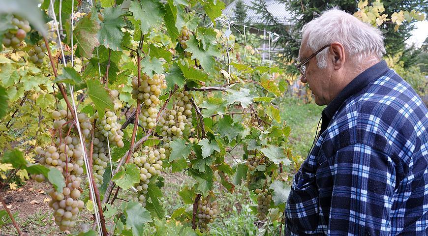 10800 Все секреты выращивания винограда в Подмосковье и в северных регионах России от виноградаря Николая Сидорцова