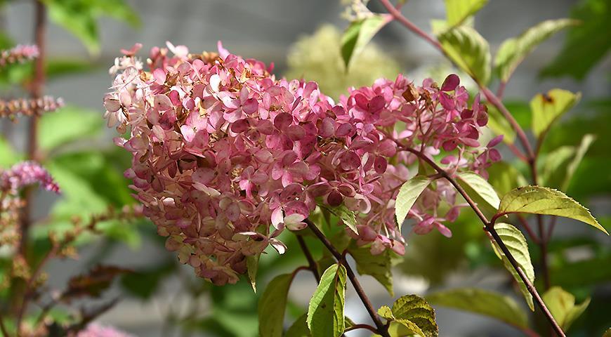 10875 10 самых красивых гортензий для вашего сада