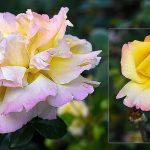 10931 7 самых зимостойких сортов роз для посадки в Подмосковье и севернее