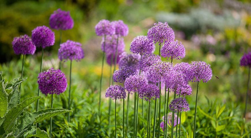 10860 Какие декоративные луки стоит посадить в сад в сентябре?