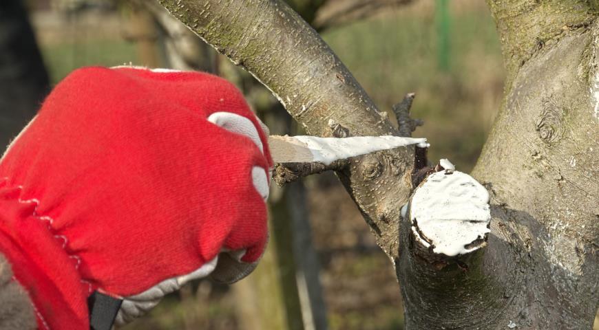 10846 Осенняя обрезка яблони, малины, винограда, смородины, роз, клематисов и других садовых культур