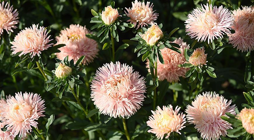 10884 Цветочный гороскоп на 12 - 22 сентября: ваш цветок - астра!