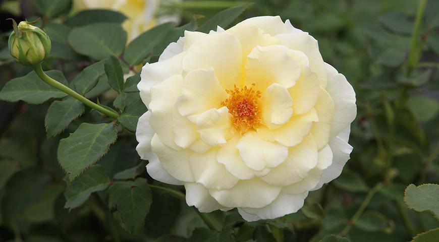 10994 Именной сад: сорта цветочных и садовых культур с именем Елена, Лена или Алена