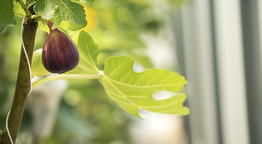 11013 Инжир в средней полосе: личный опыт получения урожая в квартире, теплице и даже в саду!