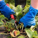 10959 Осенняя обрезка цветника: какие растения надо обрезать в зиму?